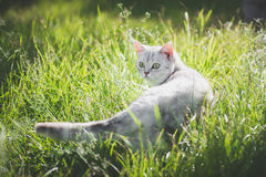 American Short Hair cat playing on green grass. Cute American Short Hair cat playing on green grass Royalty Free Stock Photo