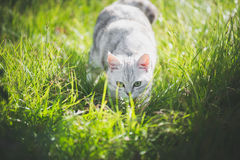 American Short Hair cat playing on green grass. Cute American Short Hair cat playing on green grass Stock Image