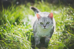 American Short Hair cat playing on green grass. Cute American Short Hair cat playing on green grass Royalty Free Stock Images