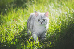 American Short Hair cat playing on green grass. Cute American Short Hair cat playing on green grass Stock Photography