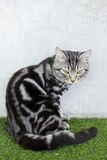 American Short Hair cat sitting on artificial turf Stock Photos