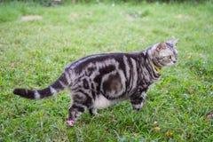 American short hair cat Royalty Free Stock Image