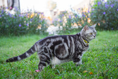 American short hair cat walk Royalty Free Stock Photo