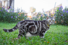 American short hair cat walk in the grass field Stock Images