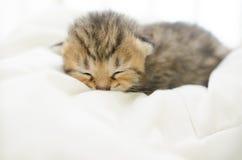 American Short hair kitten sleeping on bed Royalty Free Stock Photos
