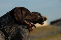 American short haired pointer dogs Stock Photography