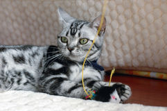 American Shorthair Royalty Free Stock Image