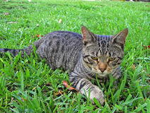 American Shorthair. Breed American Shorthair lying on the grass stock images