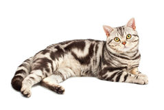 American Shorthair cat. On white royalty free stock photo