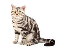 American Shorthair cat. On white Royalty Free Stock Photography