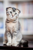 American shorthair cat Royalty Free Stock Image