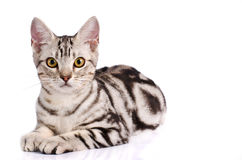 American Shorthair Cat. In white background Royalty Free Stock Photography