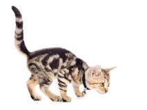 American Shorthair Cat. In white background royalty free stock photo