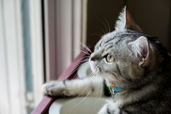 American shorthair Cat. Looking to somethig outside the window royalty free stock photos