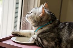 American shorthair Cat. Looking to something outside the window stock photo