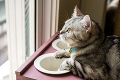 American shorthair Cat. Looking to something outside the window royalty free stock photography