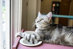 American shorthair Cat. Looking to something outside the window royalty free stock photos
