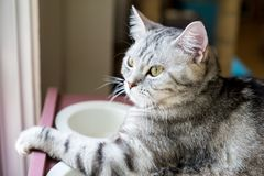American shorthair Cat. Looking to something outside the window royalty free stock image