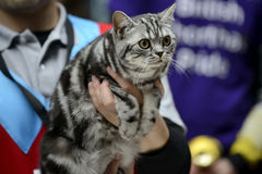 American Shorthair cat being held Royalty Free Stock Photography