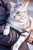 American Shorthair cat with yellow eyes. American Shorthair cat being held on a street Stock Images