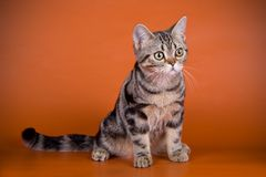 American shorthair cat on colored backgrounds. Studio photography of an American shorthair cat on colored backgrounds stock images