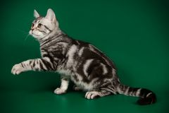 American shorthair cat on colored backgrounds. Studio photography of an American shorthair cat on colored backgrounds royalty free stock photography
