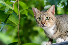 American Shorthair. Cat in the forest stock images