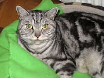 American Shorthair cat home Stock Photography