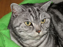American Shorthair cat home Royalty Free Stock Photos