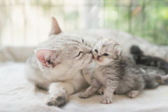Cat kissing her kitten with love. American shorthair cat kissing her kitten with love Stock Images