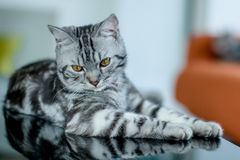 American Shorthair Cat. Lovely American shorthair cat on black table Stock Photography