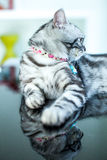 American Shorthair Cat. Lovely American shorthair cat on black table Royalty Free Stock Photography