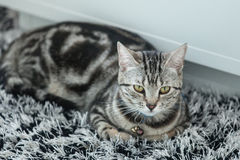 American Shorthair Cat. Lovely American shorthair cat on black and white carpet Royalty Free Stock Photos