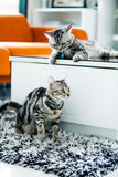 American Shorthair Cat. Lovely couple of  Amercian Shorthair cats Royalty Free Stock Photo