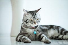 American Shorthair Cat. Lovely American shorthair cat with white background Stock Photo