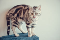 American Shorthair Cat purebred. American Shorthair Cat in Cat cafe in Bangkok, Thailand stock images