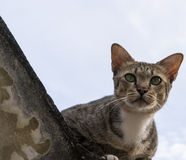 American Shorthair Royalty Free Stock Images
