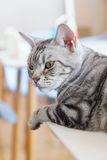 American shorthair cat. Selective focus to American shorthair cat royalty free stock photos