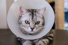 American shorthair Cat is sick. American shorthair Cat with veterinairy cone on its head, after surgery stock photos