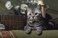 American shorthair cat. A silver classic tabby american shorthair lying on a green fancy rug with some wicker basket and daisies in the background stock photo