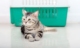 American shorthair cat sittig and looking forward with copy spac Royalty Free Stock Photos
