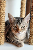 American Shorthair cat sitting on cat scratching post. American Shorthair cat sitting on cat scratching post, straight face royalty free stock photos