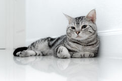 American shorthair cat. Is sitting and looking forward stock photos