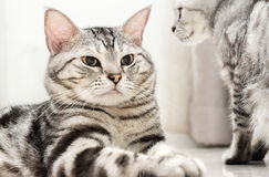 American shorthair cat is sitting. And looking forward royalty free stock image