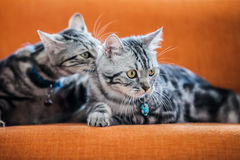 American Shorthair Cat. Sweet moment of an american shorthair couple Stock Image