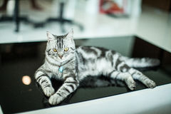 American Shorthair Cat. Tabby is sitting on the black table Stock Photography