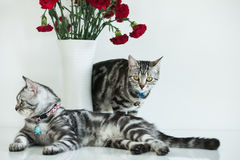 American Shorthair Cat. Two American shorthair cats with white background Stock Photography