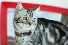 American Shorthair Cat. Is very happy Stock Images