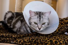 American shorthair Cat is sick. American shorthair Cat with veterinairy cone on its head, after surgery royalty free stock photos