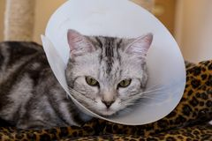 American shorthair Cat is sick. American shorthair Cat with veterinairy cone on its head, after surgery royalty free stock photo